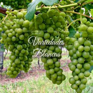 Cyrnos, Variedades de uva Blancas