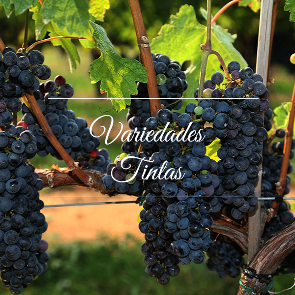Cyrnos, Variedades de uva Tintas