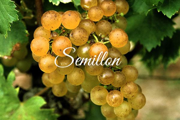 Variedades de uva clara: Semillon