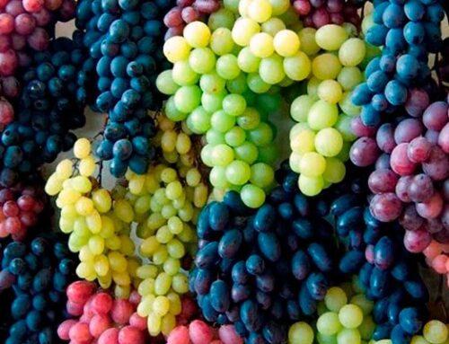 Conoce las uvas más raras con las que se prepara vino.